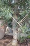 Limber Pine, or Vanderwolf's Pyramid