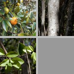 Lime Trees photographs
