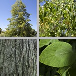 Linden Trees photographs