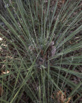 Linear, Pointed Buckley Yucca Leaves