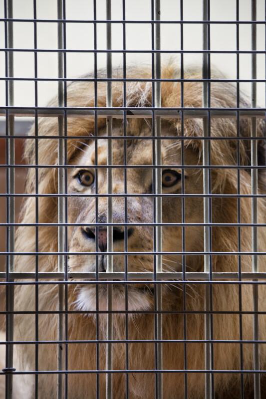 Lion Behind Bars
