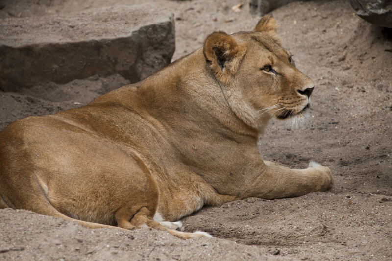 Lioness Laying on the Ground at the Artis Royal Zoo