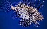 Lionfish at The Florida Aquarium