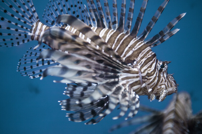 Lionfish Close-Up