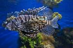 Lionfish Side