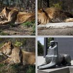 Lions photographs