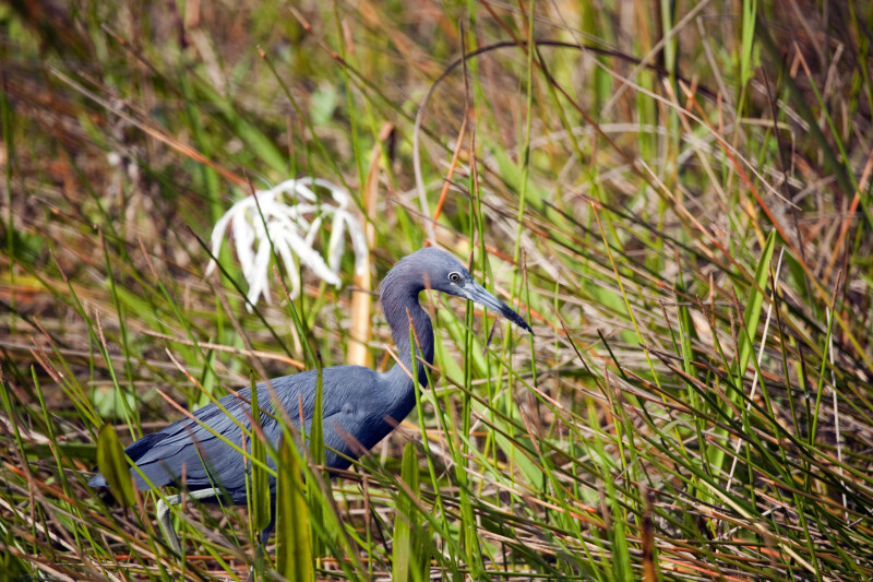 Little Blue Heron and Flower