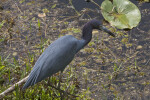 Little Blue Heron Focused on the Water
