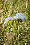 Little Blue Heron Stalking in the Grass