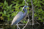 Little Blue Heron  Looking to its Left Side