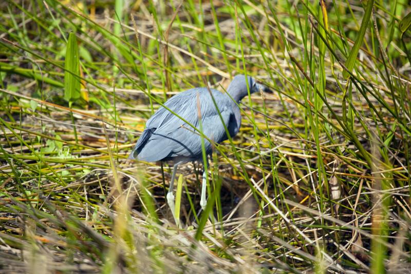 Little Blue Heron Peering