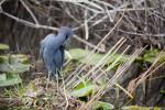 Little Blue Heron (Preening)