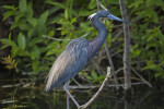 Little Blue Heron Standing on a Branch