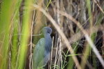 Little Blue Heron Through the Sawgrass