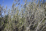 Little Leaf Mountain Mahogany Branches