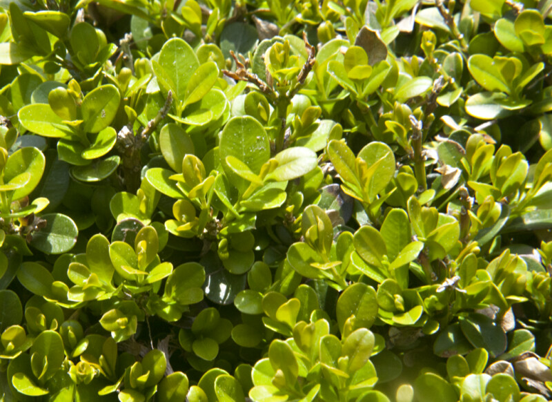 Littleleaf Boxwood 'Morris Dwarf' at the Arnold Arboretum of Harvard University