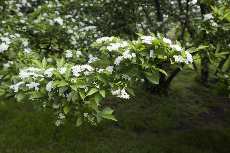 Littleleaf Photinia Branches