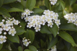 Littleleaf Photinia Flowers and Leaves