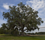 Live Oak Near USF Soccer Stadium