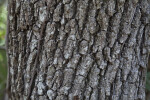 Live Oak Trunk Close Up
