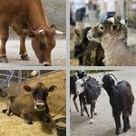 Livestock photographs