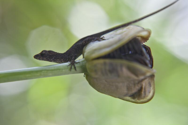 Lizard Climbing off of Iris Seed Pod and onto Stem