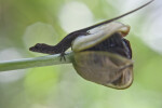 Lizard Climbing off of Iris Seed Pod and onto Stem
