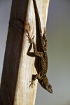 Lizard on a Wooden Post