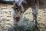 Llama Eating Grass  at the Florida State Fairgrounds