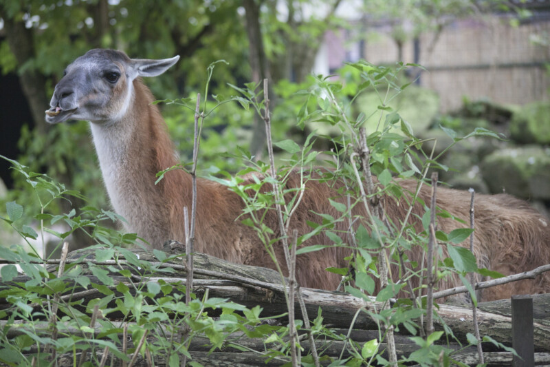 Llama Lying Amongst Branches and Small Plants at the Artis Royal Zoo
