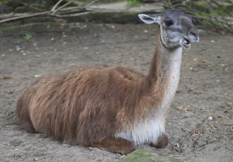 llama Resting with its Mouth Open