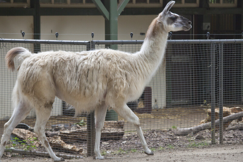 Llama Walking at the Artis Royal Zoo