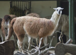 Llama with its Head Turned Toward Camera
