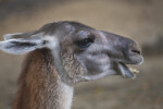 Llama with Mouth Open