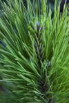 Loblolly Pine Leaves