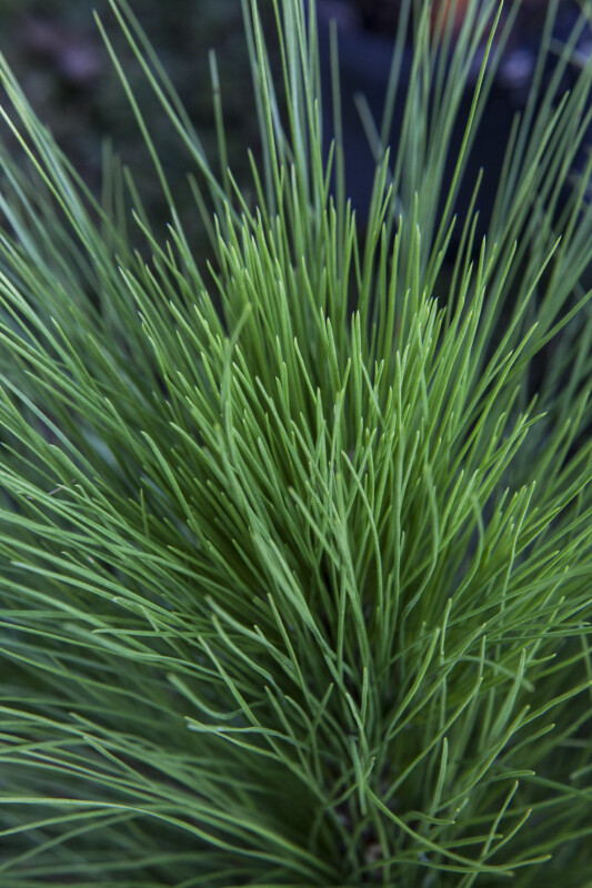 Loblolly Pine Needles