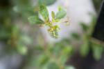 Locusberry Tip