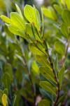 Locustberry Plant