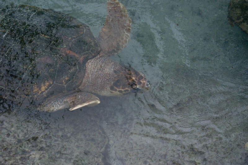 Loggerhead from Above