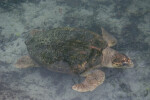 Loggerhead on Bottom