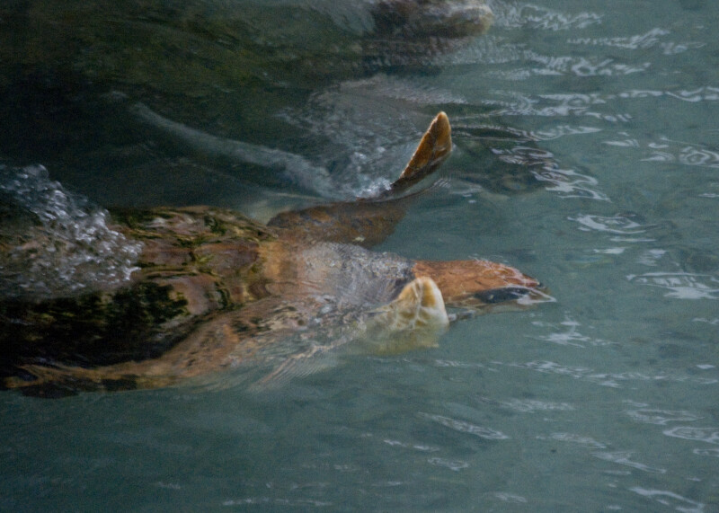 Loggerhead Swimming at Surface