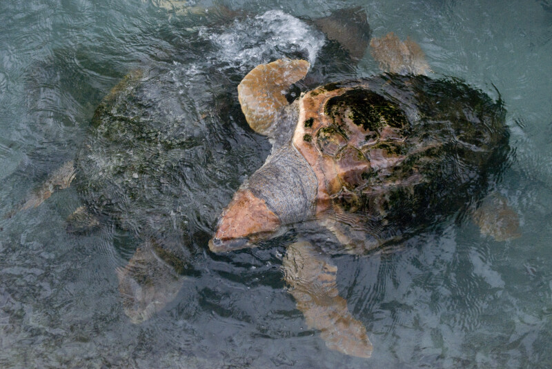 Loggerhead Swimming