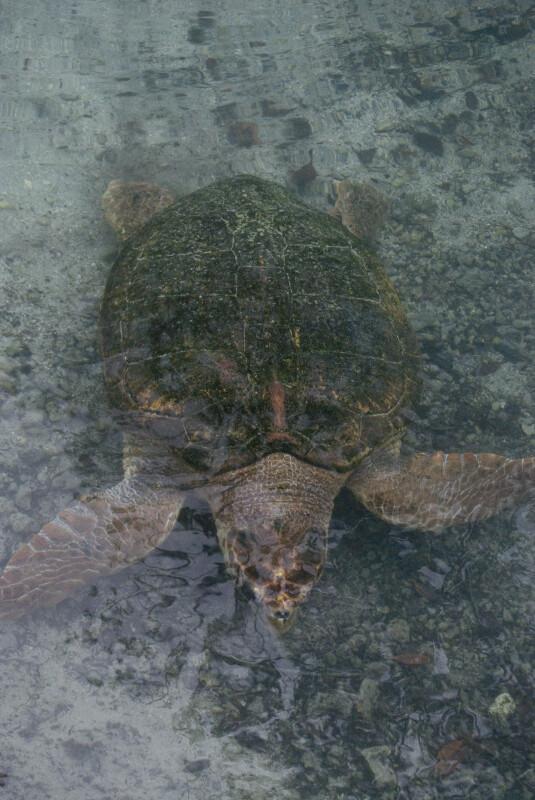 Loggerhead Underwater