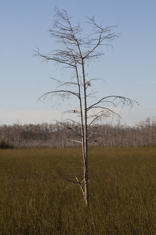 Lone, Bare Dwarf Bald Cypress Tree in Field of Grass