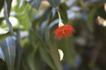 Lone Flower of a Red Flowering Gum Tree