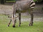 Lone Hartmann's Mountain Zebra Grazing