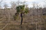 Lone Palm Tree Amongst Many Dwarf Bald Cypresses