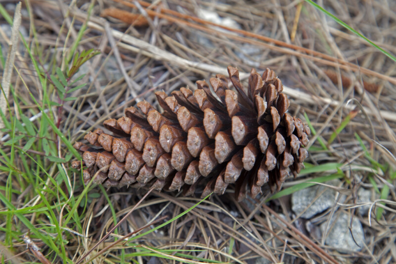 Lone Pine Cone at Long Pine Key of Everglades National Park