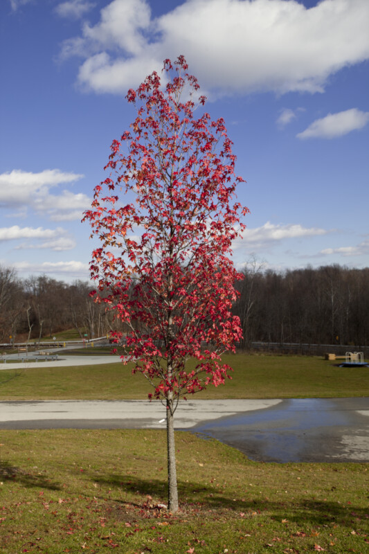 Lone Red Maple Tree at Boyce Park