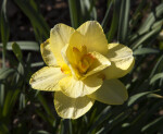 Lone Yellow Double Daffodil with Many Petals
